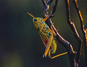 Locust swarms in Africa. Part II: consequences